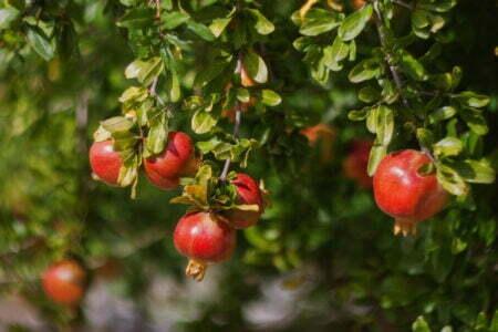 Pomegranate Blog Dalu Natural Skincare